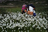 Cotton Grass, Sirmilik