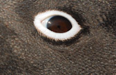 Adelie Penguin - Eye Detail