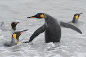 King Penguins swimming