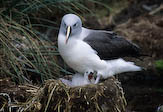 Grey headed albatross, Antarctica