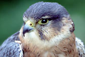 Sparrow hawk, Ont
