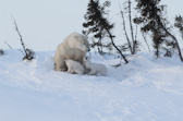Polar Bear & Cubs Emerging from Den