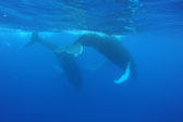 Courting Humpbacks